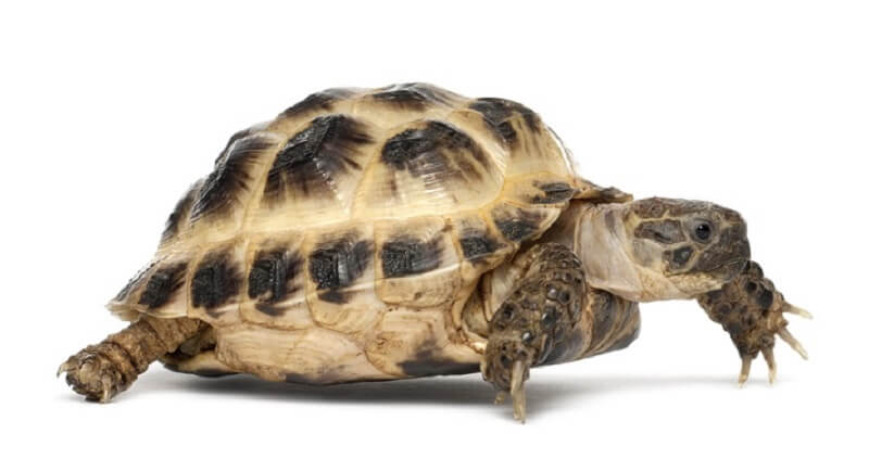 The Russian Tortoise with its distinctive yellow and black shell.