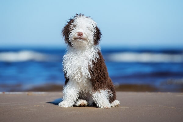 A Spanish Water Dog sits on the shoreline, ready to play in the surf!
