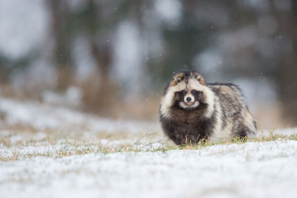 The tanuki is a small canine related to foxes that looks much like a raccoon.