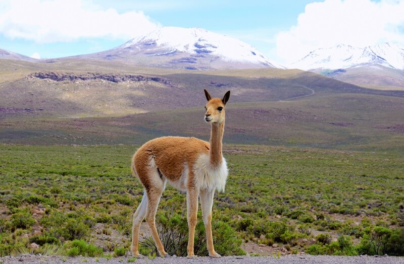 A vicuña poses in the grass plains of the Andes Mountains.
