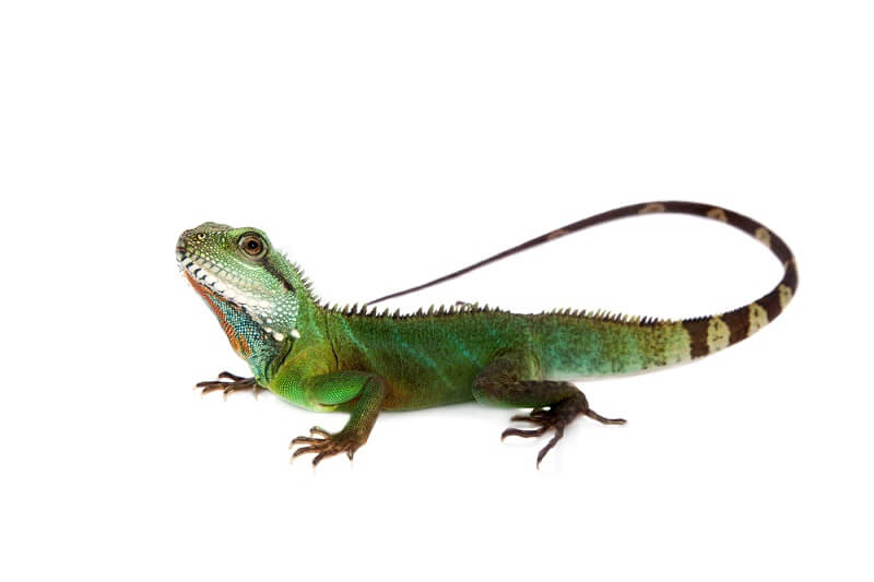 The water dragon is a species well adapted to the water as a defense mechanism.