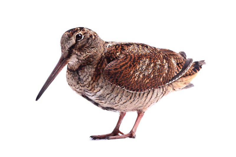 The woodcock has a long beak, used to dig into dirt and aquatic substates to find small insects.