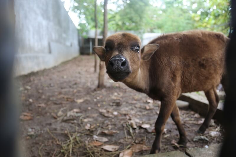 A baby water buffalo at an educational farm is well socialized and will readily approach people.