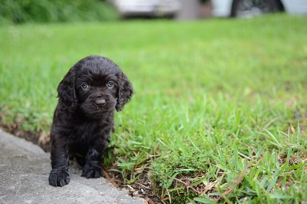 A Boykin spaniel puppy is cowardly and gentle at first, but will develop into a very energetic and loving dog.