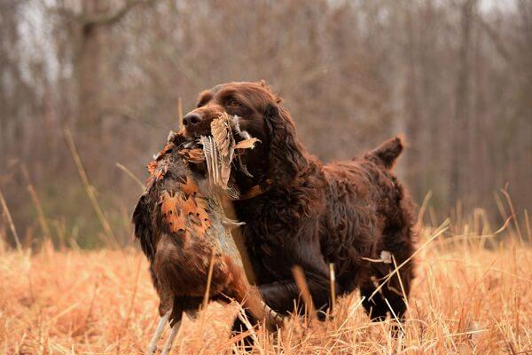 A Boykin spaniel is seen retrieving a dead pheasant, a behavior that is easily trainable in this breed.