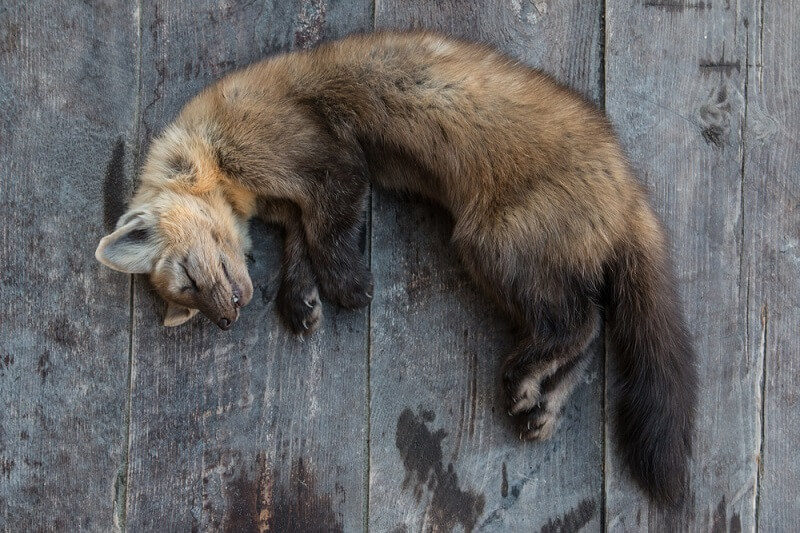 The sable is prized for its fur, meaning many sable are killed every year and skinned to create fur coats and hats.