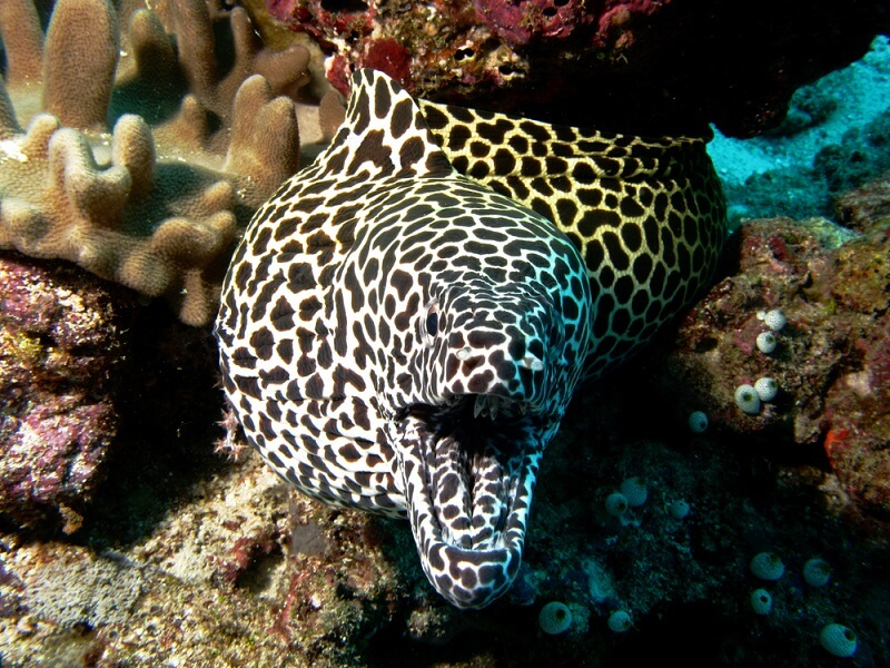 A moray eel displays a black and white honeycomb pattern, even on the skin of its tongue and gums.