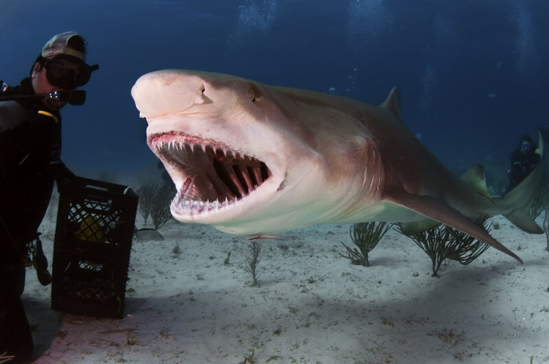 Lemon sharks, though their faces may look smaller, actually have a massive jaw that can project out.