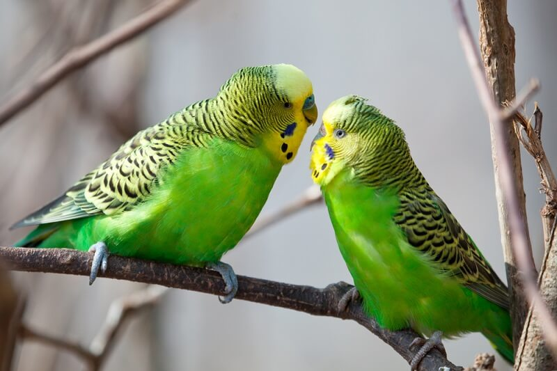 A male and female budgie share affections on a branch.
