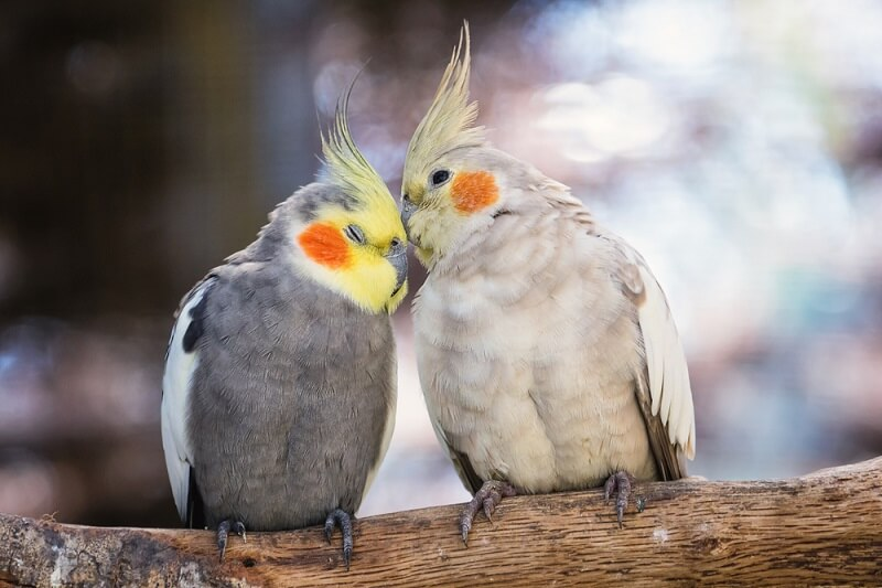 A pair of cockatiels share affection on a branch, building their social bond.