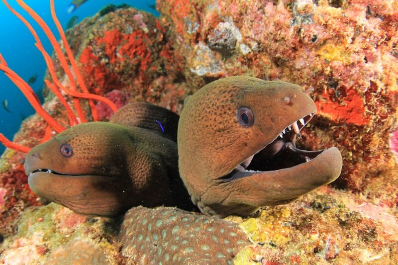 Two morays share a hiding place and wait for passing prey.