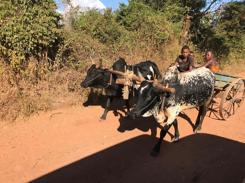 A pair of kids head to the local market, with their pair of zebus pulling the wagon down a dirt road.