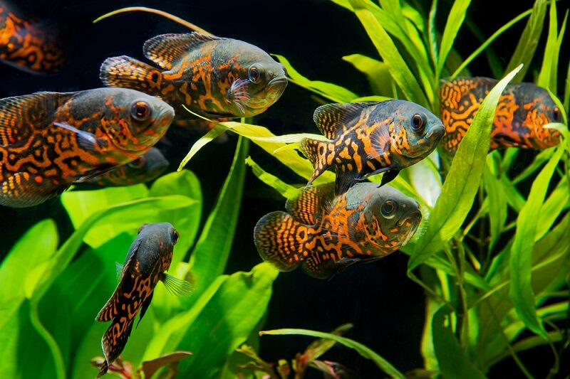 A school of baby oscar fish, almost ready to establish their own territories.