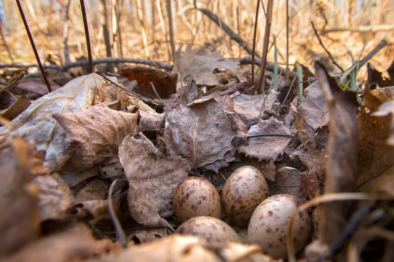 A nest of woodcock eggs is almost invisible among the leaf litter on the forest floor where woodcocks build their nests.