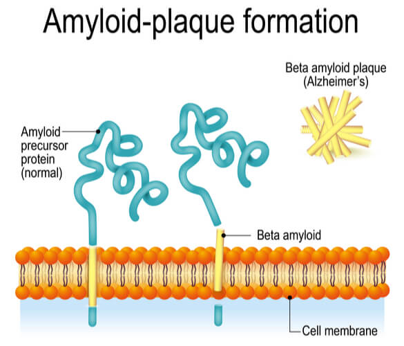 Vector showing the cleaving of the APP into the beta amyloid plaque in the cell membrane