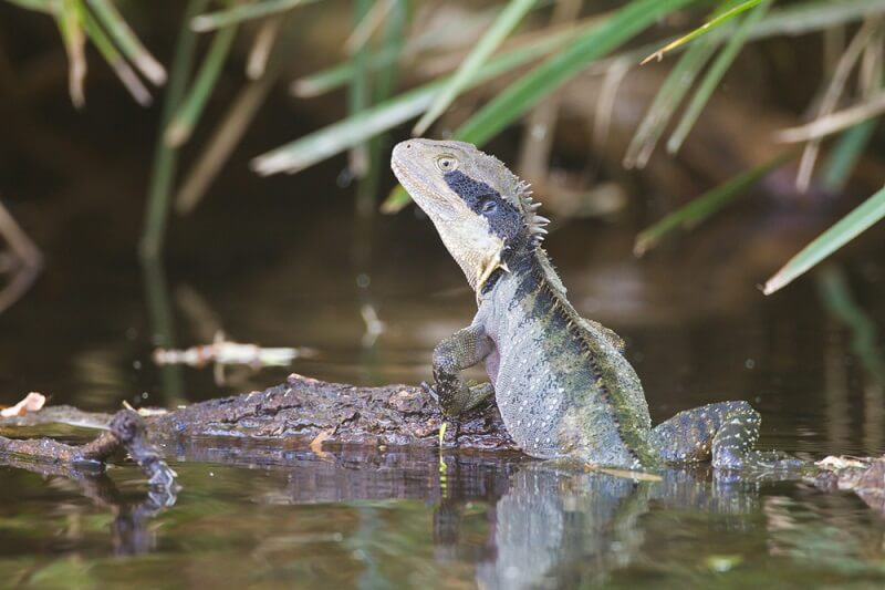 Australian Water Dragons have much darker coloration than their Chinese counterparts.