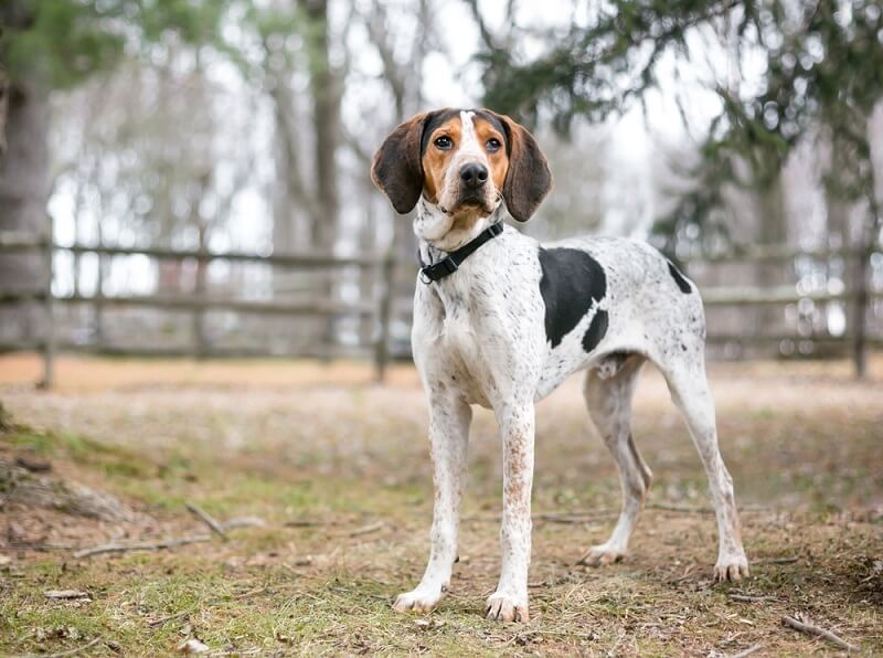 The English coonhound is mostly white with black and tan patches.