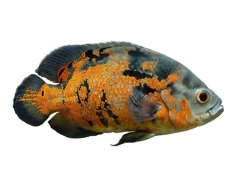 The oscar fish is a common aquarium species native to South America