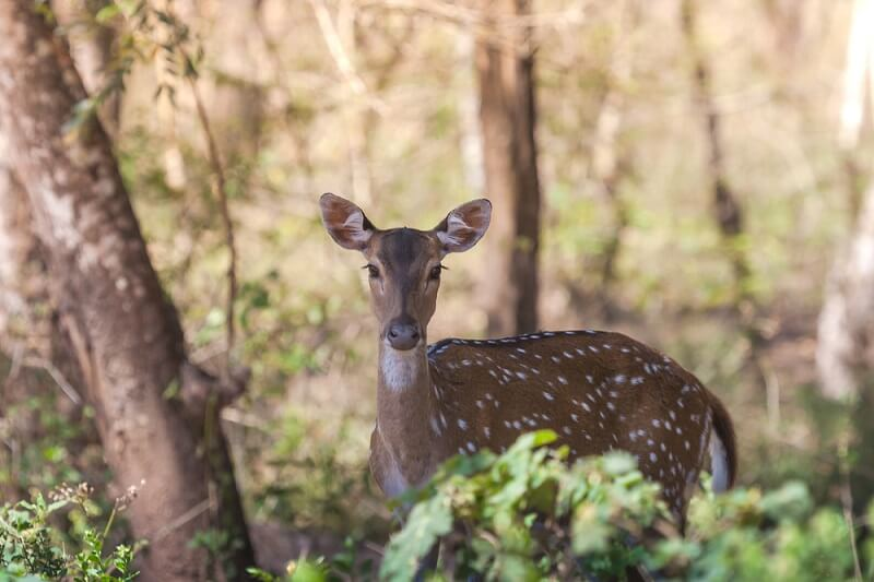 A doe axis deer hides out in the shade, a common strategy for avoiding the midday heat on the Indian subcontinent.