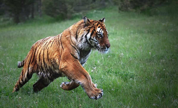 Bengal tiger running in the grass