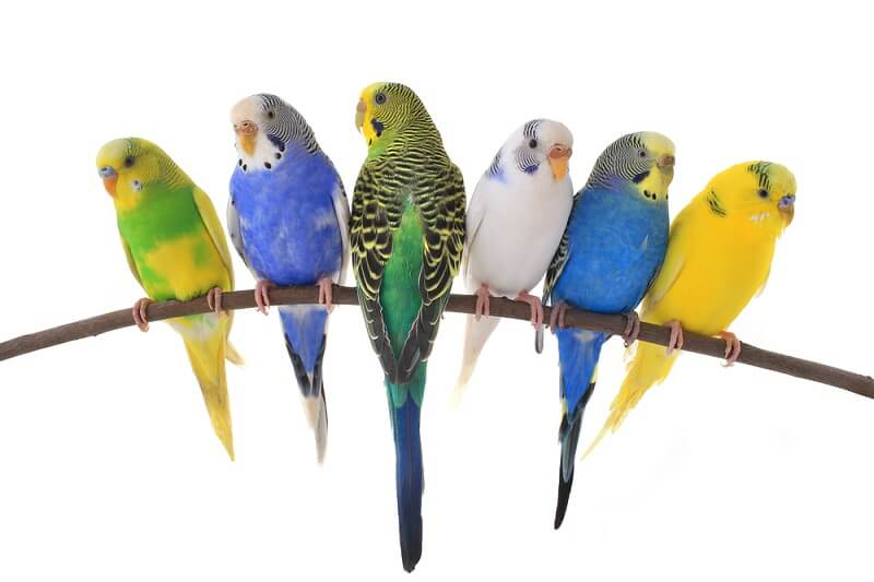 Artifical selection has create many different color varieties within the captive budgie population.