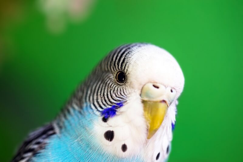 A female budgie showing off the intricate patterns around her eye.