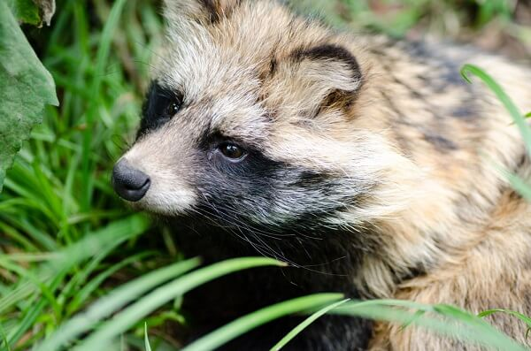 The face of a tanuki is almost identical to the face of a raccoon.