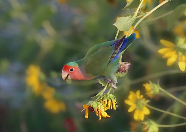 A Fischer's lovebird perched on the end of a plant