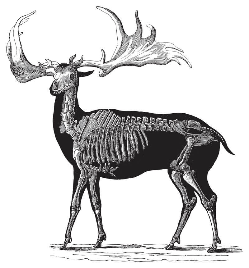 Fossils of the Irish elk can help paleontologists estimate the size, habitat, and even behavior of the extinct species.