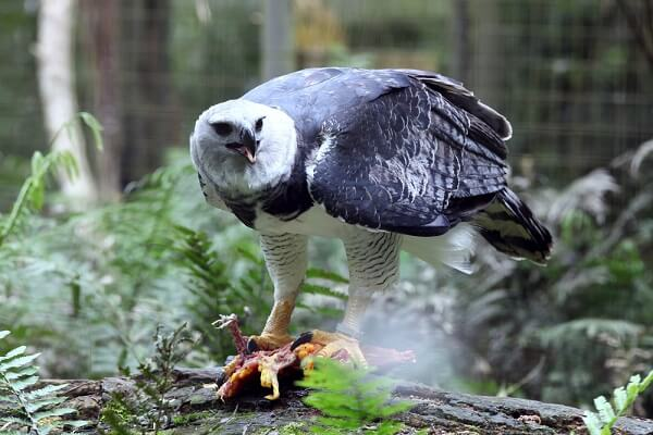 A harpy eagle rests on a branch as it eats a small mammal it picked from the canopy.