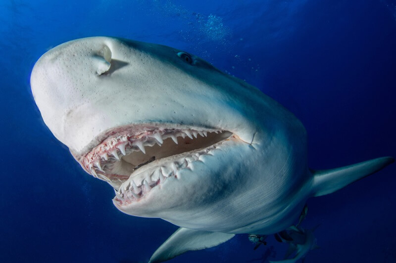 Lemon shark teeth are small and pointy because they have evolved to catch fish, which are very slippery.
