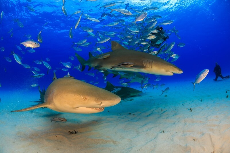 Lemon sharks prefer to hunt in small groups, increasing their chances of finding and capturing prey.