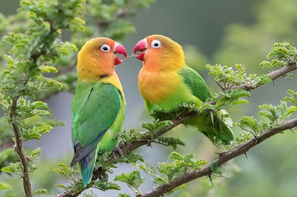 Two lovebirds on a branch interacting
