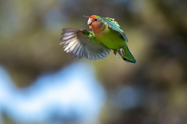 Lovebird in flight with its wings facing forward
