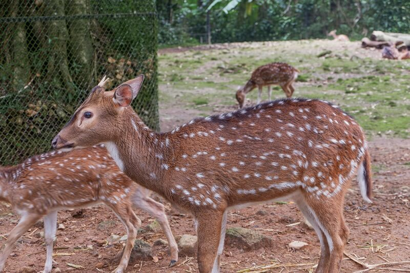 Axis deer in captivity often escape and establish populations in the wild.