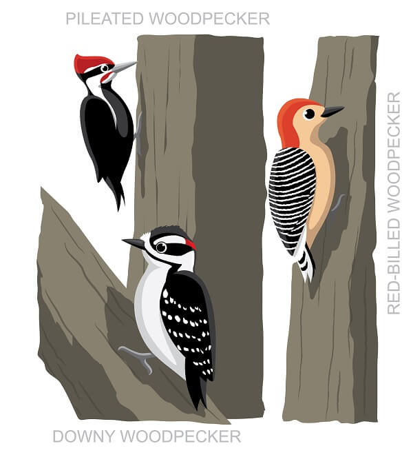 The woodpecker family contains several species capable of boring into trees, but only the pileated woodpecker has a red cap.