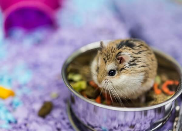 A Robo dwarf hamster sat in a food bowl, storing food in its cheek pouces