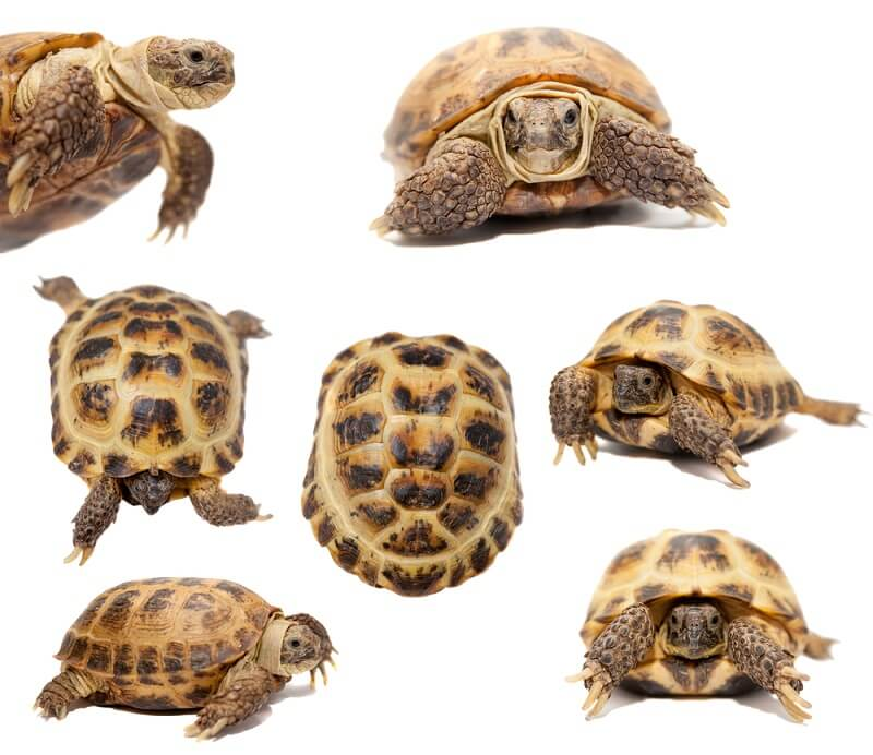 Russian tortoises show a variety of slight color variations, though they are mostly yellow with spots of black.