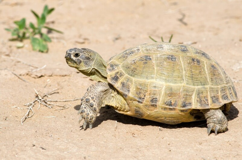 Russian tortoises are well-adapted to arid environments and can go around 9 months without food or water.