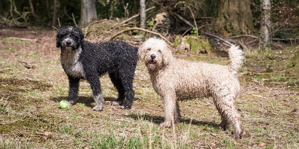 This breed comes in a range of colors, from white to black to brown.