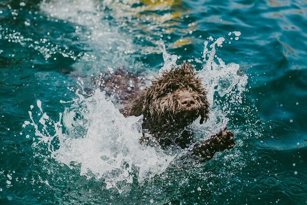 Spanish Water Dogs are excellent  swimmers due to their adaptations, such as some body fat and webbed feet.