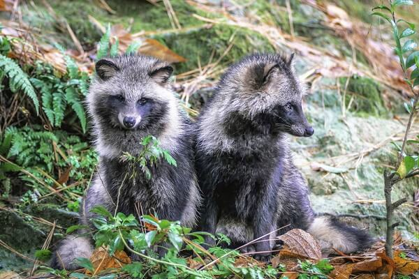 Two young tanukis sit in the forest, next to their den.