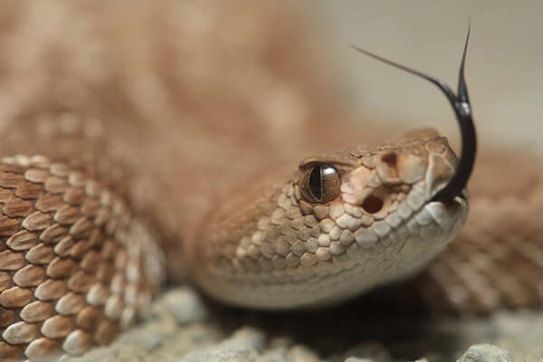 The large pit organs on this rattlesnake are used to sense the heat that small mammals and birds give off.