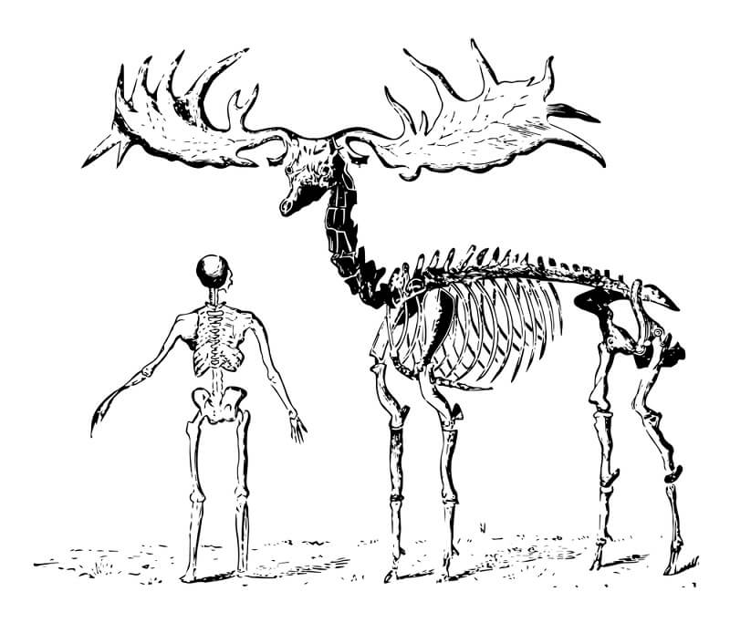 The extinct Irish elk stood nearly 3 feet taller than an average human, with antlers that could span 12 feet!
