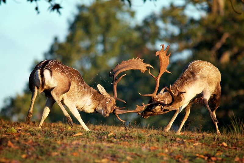 Two male fallow deer spar over control of lekking territory, used to attract females for reproduction.