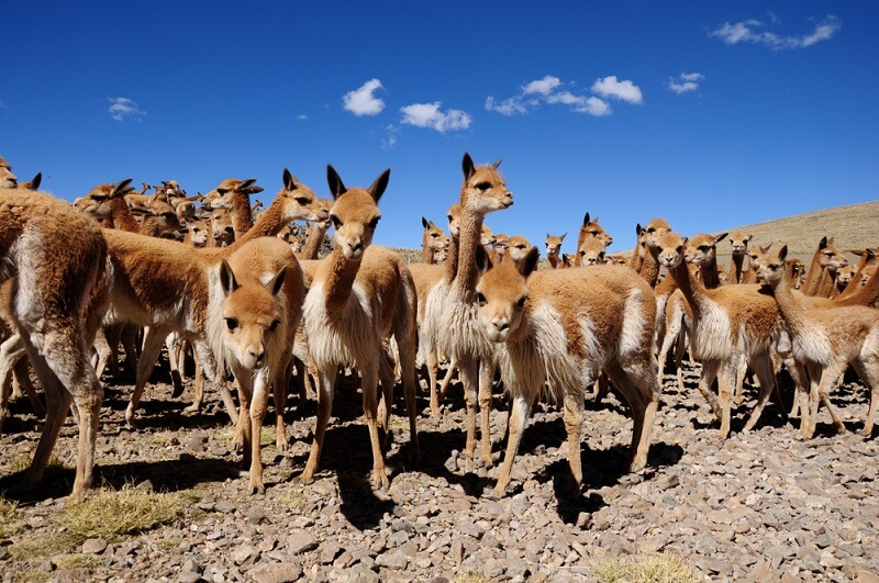 Hundreds of vicuñas are rounded up for the bi-annual Chaccu, an event where the animals are shaved to save them from poaching.
