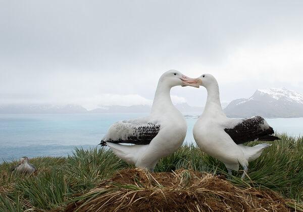 Wandering albatross breeding pair by their nest