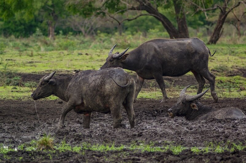 A group of water buffalo wallow in the mud to repel insects and stay cool.