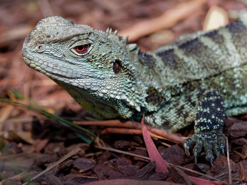 The water dragon uses its pineal eye to detect the best basking spots.