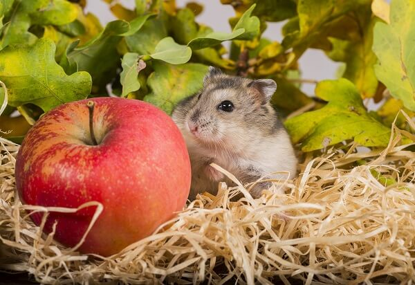 A winter white russian hamster next to an apple.